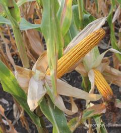 Объявление Семена кукурузы Краснодарский 291 в Краснодарском крае