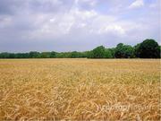 Объявление Продаем пшеницу мягких сортов 4 класса. в Саратовской области