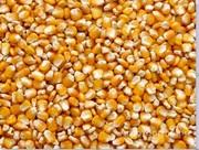 Объявление Кукуруза продовольственная в Республике Крым