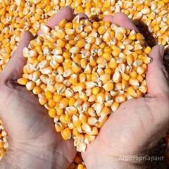 Объявление Закупаем кукурузу в любом объеме. Дорого. в Краснодарском крае