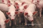 Объявление Свинина живым весом от 5 тонн с доставкой по России! в Республике Татарстан