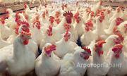 Объявление Курица несушка. Только оптом. От 100 голов в Алтайском крае