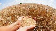 Объявление Озимая пшеница 3 класса в Алтайском крае