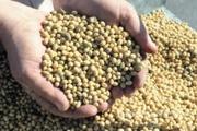 Объявление Продам горох 50 тонн в Алтайском крае