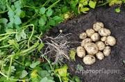 Объявление Картофель от производителя в Алтайском крае