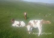 Объявление Телята симменталы в Алтайском крае