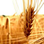 Объявление Семена озимой мягкой пшеницы сорт Танаис ЭС/РС1/РС2 в Ростовской области