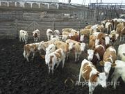 Объявление Телки симментальской породы 150 до 250 кг в Владимирской области