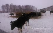 Объявление Черно-пестрые бычки в Новосибирской области