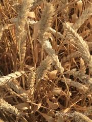 Объявление Семена озимой пшеницы сорт Краса Дона ЭС в Ростовской области