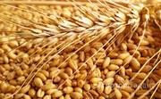 Объявление Закупаем зерно, фураж в Алтайском крае