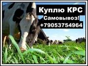 Объявление Закупаем КРС на убой по всей России в Нижегородской области