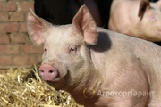 Объявление Продаем свиней живым весом в Нижегородской области