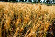 Объявление Семена озимой Пшеницы в Москве и Московской области
