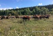 Объявление Быки живым весом в Алтайском крае