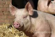Объявление Продаем свиней в Белгородской области