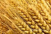 Объявление Элитные семена озимой пшеницы в Краснодарском крае