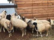 Объявление Срочно продам стадо овец в Республике Тыва