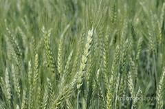 Объявление НОВИНКА! Семена озимой пшеницы Кавалерка ЭС в Ростовской области