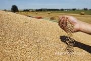 Объявление Пшеница 3-4 класс 2000 тонн с хозяйства в Алтайском крае