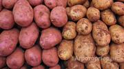 Объявление Картофель продовольственный в Алтайском крае