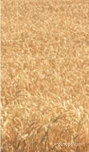 Объявление Семена озимой мягкой пшеницы Капризуля ЭС в Ростовской области