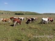 Объявление Телочки симментальской породы в Алтайском крае