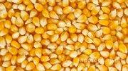 Объявление Кукуруза фуражная на экспорт в Краснодарском крае