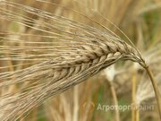 Объявление Семена озимого ячменя Рубеж, Стратег в Краснодарском крае