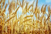 Объявление Семена озимой пшеницы  Маркиз, Караван, Сварог, Ваня, Граф. в Краснодарском крае