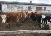 Объявление Продаю дойных коров в Алтайском крае