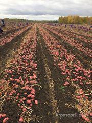 Объявление Картофель оптом от 20 тонн 5+ от 5.5 руб/кг в Свердловской области