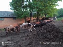 Объявление Продаю 8 тёлок и 5 телят в Ставропольском крае