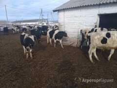 Объявление нетеля, бычки в Челябинской области