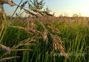 Объявление Семена суданской травы Кинельская 100, Саратовская 1083, Черноморская в Краснодарском крае