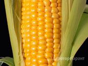 Объявление Семена кукурузыКраснодарский 194 F1   (обработан MAXIM XL + стимулятор роста) в Ростовской области