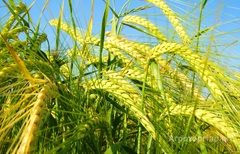 Объявление Требуются зерновозы в Пензенской области