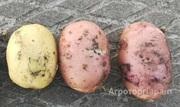 Объявление Молодой картофель от производителя в Тульской области
