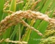 Объявление Элитные семена риса в Ростовской области