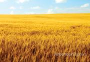 Объявление Семена озимой пшеницы сорт Оникс ЭС в Ростовской области
