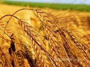 Объявление Пшеница купить оптом 4 класс 5 класс в Алтайском крае