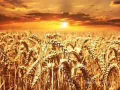 Объявление Пшеница 4 класса оптом от производителя. 12000 руб/тонна. в Пензенской области
