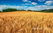 Объявление Семена озимой пшеницы  Станичная, Гром, Юка, Таня, Трио в Ставропольском крае