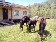 Объявление Продаются кобылы, жеребцы и жеребята в Республике Алтай