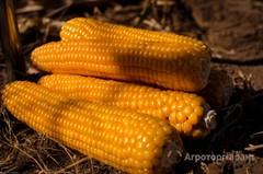 Объявление Семена кукурузы в Алтайском крае