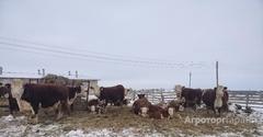 Объявление КРС породы Герефорд в Алтайском крае