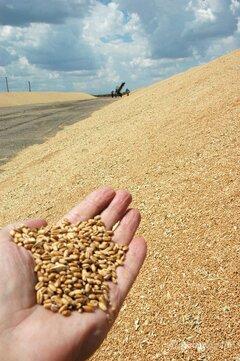 Объявление Пшеница 3.700т в Волгоградской области