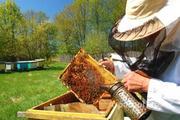 Объявление Требуется пчеловод на пасеку в Алтайском крае