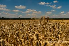 Объявление Продаем большим оптом семена Пшеницы, подсолнух, Бобовые, Ячмень, Нут, Горох, Зерно в Волгоградской области