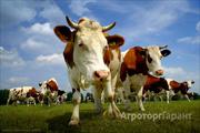 Объявление Продам быков казахской белоголовой породы оптом от 30 голов. в Свердловской области